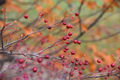 Sorbus alnifolia (Korean Mountain-ash), fruit, mature