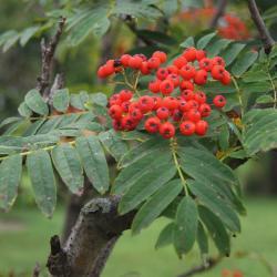 Paper-barked maple (Acer griseum) bark