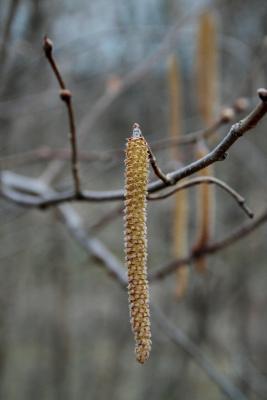 Corylus americana (American Hazelnut), flower, staminate