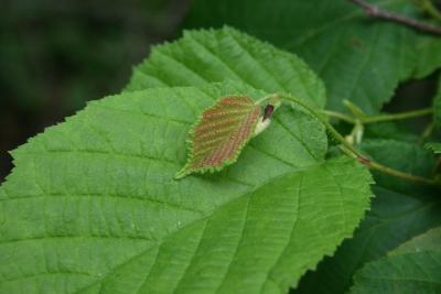Corylus americana (American Hazelnut), leaf, spring