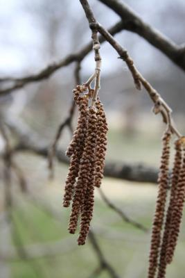 Corylus colurna (Turkish Hazelnut), inflorescence