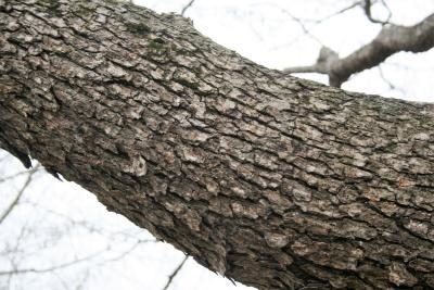 Corylus colurna (Turkish Hazelnut), bark, trunk