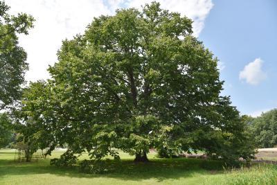 Corylus colurna (Turkish Hazelnut), habit, summer