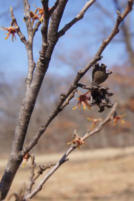 Hamamelis 'Heather' (Heather Witch-hazel), bark, branch