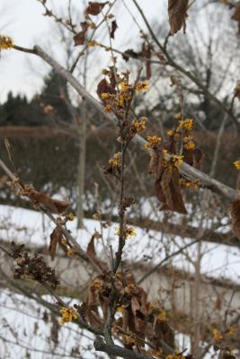 Hamamelis 'Brevipetala' (Brevipetala Witch-hazel), habit, winter
