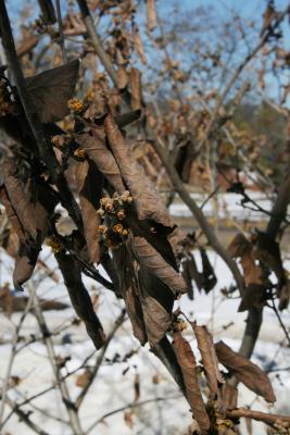 Hamamelis 'Brevipetala' (Brevipetala Witch-hazel), leaf, winter