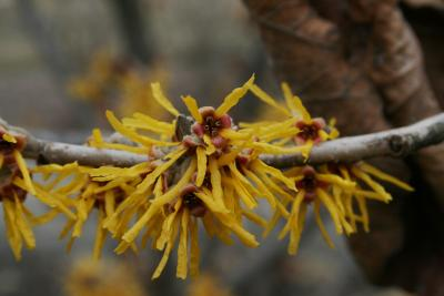 Hamamelis 'Brevipetala' (Brevipetala Witch-hazel), flower, full