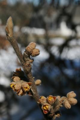Hamamelis 'Brevipetala' (Brevipetala Witch-hazel), bud, flower