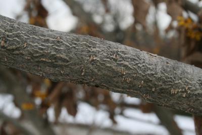 Hamamelis 'Brevipetala' (Brevipetala Witch-hazel), bark, branch
