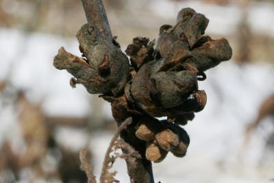 Hamamelis 'Brevipetala' (Brevipetala Witch-hazel), fruit, mature