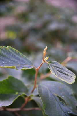 Hamamelis 'Heather' (Heather Witch-hazel), bud, terminal