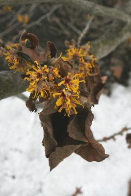 Hamamelis 'Brevipetala' (Brevipetala Witch-hazel), inflorescence