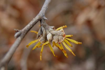 Hamamelis 'Brevipetala' (Brevipetala Witch-hazel), flower, side