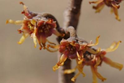 Hamamelis 'Heather' (Heather Witch-hazel), flower, full