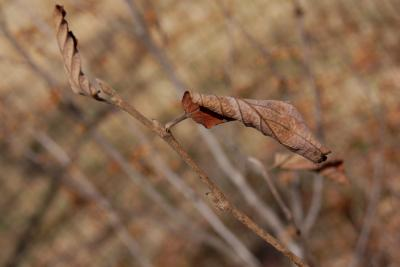 Hamamelis 'Heather' (Heather Witch-hazel), bud, lateral