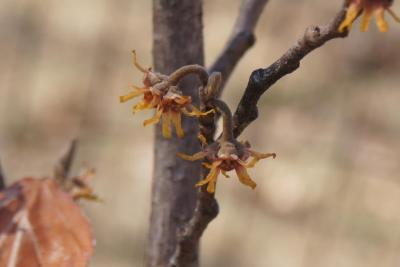 Hamamelis 'Heather' (Heather Witch-hazel), flower, side