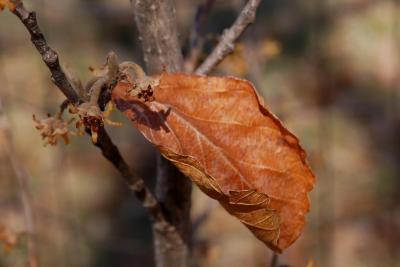 Hamamelis 'Heather' (Heather Witch-hazel), leaf, winter