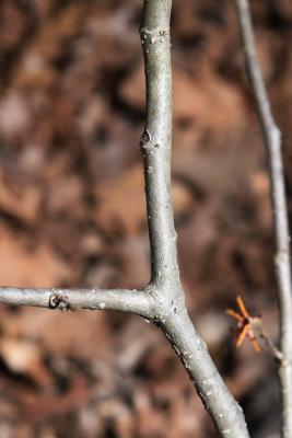 Hamamelis ×intermedia 'Aphrodite' (Aphrodite Hybrid Witch-hazel), bark, stem