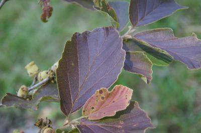 Hamamelis ×intermedia 'Copper Glow' (Copper Glow Hybrid Witch-hazel), leaf, upper surface