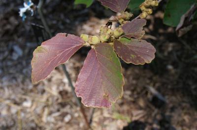 Hamamelis ×intermedia 'Copper Glow' (Copper Glow Hybrid Witch-hazel), leaf, summer