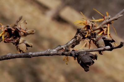 Hamamelis ×intermedia 'Copper Glow' (Copper Glow Hybrid Witch-hazel), bark, twig