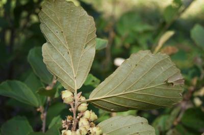 Hamamelis ×intermedia 'Copper Glow' (Copper Glow Hybrid Witch-hazel), leaf, lower surface