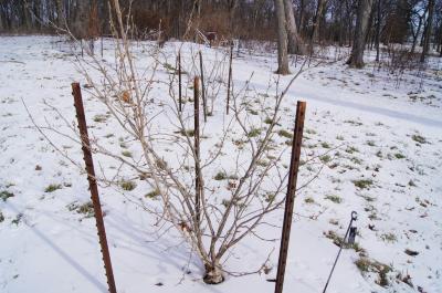 Hamamelis ×intermedia 'Copper Glow' (Copper Glow Hybrid Witch-hazel), habit, winter