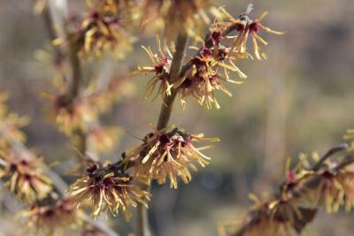 Hamamelis ×intermedia 'Copper Glow' (Copper Glow Hybrid Witch-hazel), inflorescence