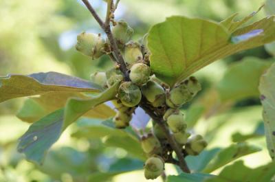 Hamamelis ×intermedia 'Copper Glow' (Copper Glow Hybrid Witch-hazel), fruit, immature