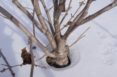 Hamamelis ×intermedia 'Copper Glow' (Copper Glow Hybrid Witch-hazel), bark, trunk