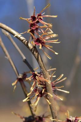 Hamamelis ×intermedia 'Copper Glow' (Copper Glow Hybrid Witch-hazel), flower, throat