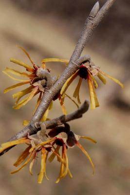Hamamelis ×intermedia 'Copper Glow' (Copper Glow Hybrid Witch-hazel), flower, side