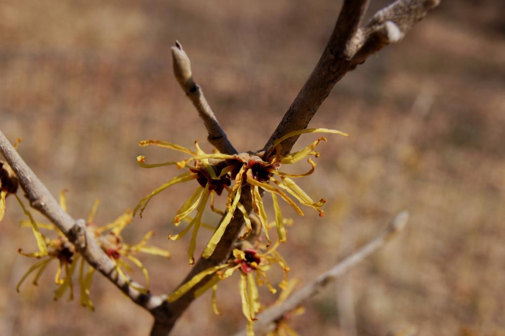 Hamamelis mollis 'Wisley Supreme' (Wisley Supreme Chinese Witch-hazel), flower, full