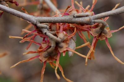 Hamamelis vernalis f. carnea (Red-flowered Vernal Witch-hazel), bark, twig