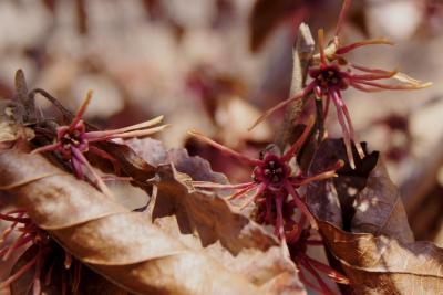 Hamamelis vernalis f. carnea (Red-flowered Vernal Witch-hazel), flower, throat