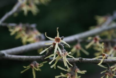 Hamamelis vernalis 'Sandra' (Sandra Vernal Witch-hazel), flower, throat