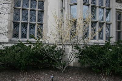Hamamelis vernalis 'Sandra' (Sandra Vernal Witch-hazel), habit, spring