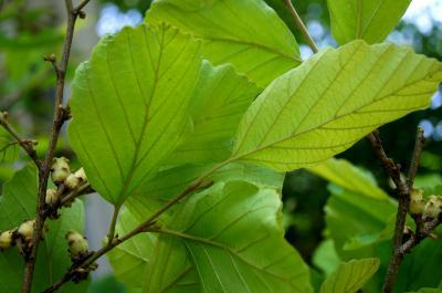 Hamamelis vernalis 'Sandra' (Sandra Vernal Witch-hazel), leaf, lower surface