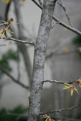Hamamelis vernalis 'Sandra' (Sandra Vernal Witch-hazel), bark, branch