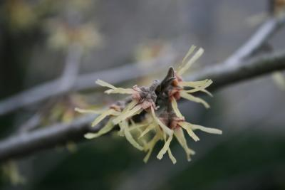 Hamamelis vernalis 'Sandra' (Sandra Vernal Witch-hazel), inflorescence