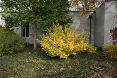 Hamamelis vernalis (Vernal Witch-hazel), habit, fall