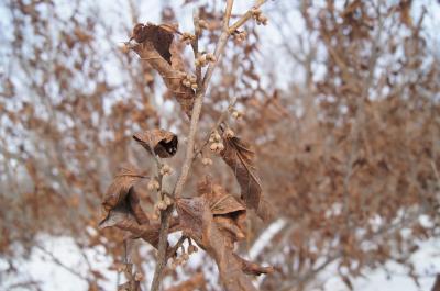 Hamamelis vernalis (Vernal Witch-hazel), bud, flower