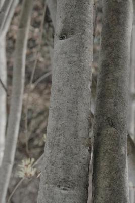 Hamamelis vernalis (Vernal Witch-hazel), bark, trunk