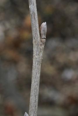 Hamamelis vernalis (Vernal Witch-hazel), bud, lateral