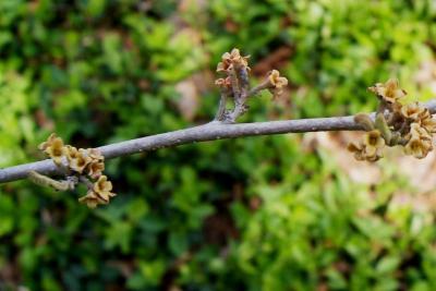 Hamamelis vernalis (Vernal Witch-hazel), bark, twig