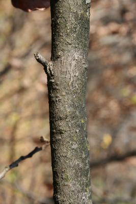 Hamamelis vernalis (Vernal Witch-hazel), bark, branch