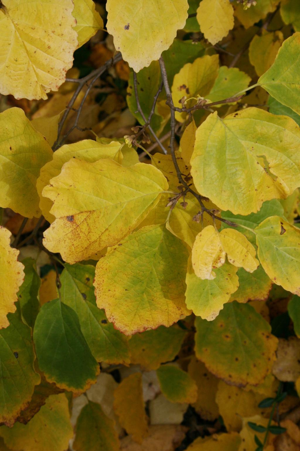 Hamamelis virginiana (Common Witch-hazel), leaf, fall