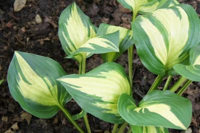 Hosta 'American Sweetheart' (American Sweetheart Hosta), leaf, summer
