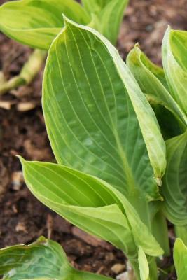 Hosta 'Aristocrat' (Aristocrat Hosta PP11286), leaf, spring