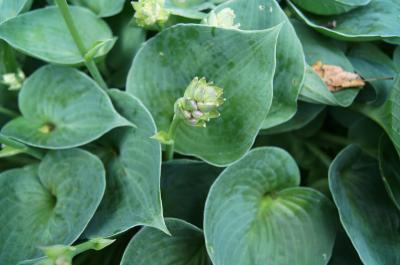 Hosta 'Blue Cadet' (Blue Cadet Hosta), bud, flower